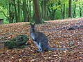 Wallaby in Rowe Wood, Fawley - geograph.org.uk - 1032918.jpg