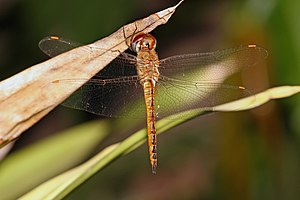 A large dragonfly rests on a dead leaf. It has a brown body with clear wings, except for the orange pterostigma.