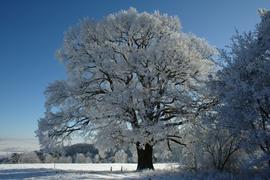 Wartenberg Landenhausen Lerchenberg Alte-Eiche Quercus winter natural-monument.png