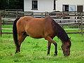 Weidegängiges Pferd.JPG