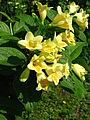 Weigela middendorffiana flowers 02.JPG