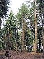 Wekeromse Zand Douglasspar (Pseudotsuga menziesii).jpg