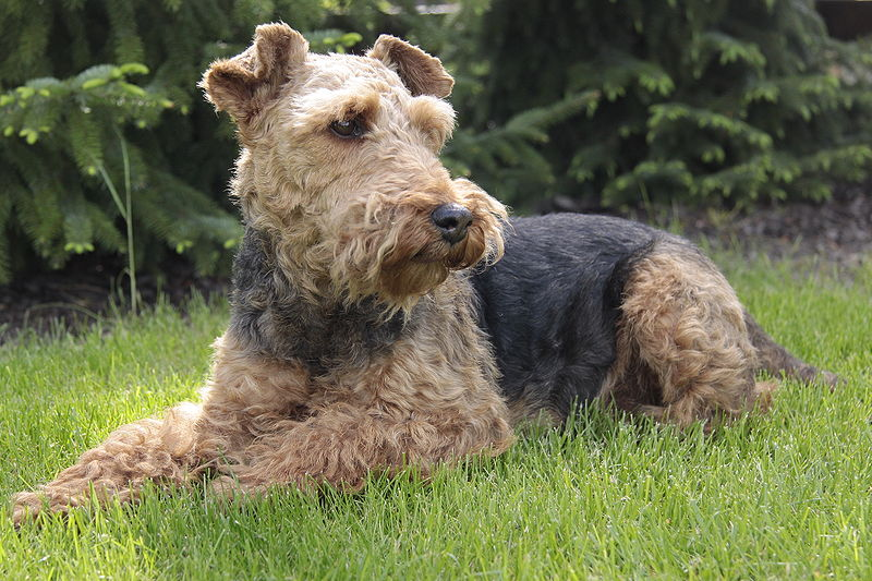 http://upload.wikimedia.org/wikipedia/commons/thumb/f/f9/Welsh_Terrier.JPG/800px-Welsh_Terrier.JPG