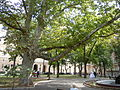 Western Platan, Palais-Royal garden, Odessa.jpg