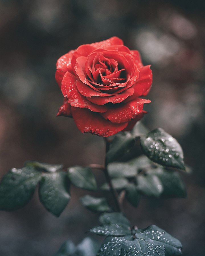 720px-Wet_red_rose_%28Unsplash%29.jpg