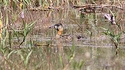 White-backed Duck (Thalassornis leuconotus) 1 (46494351142).jpg