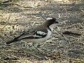 White-browed Sparrow-weaver Plocepasser mahali in Tanzania 1724 Nevit.jpg
