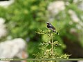 White-tailed Rubythroat (Luscinia pectoralis) (35678180932).jpg