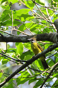 White-throated Bulbul (Alophoixus flaveolus) in tree, from front.jpg