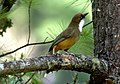 White-throated Laughingthrush Garrulax albogularis Bhutan by Dr. Raju Kasambe DSC 4745 (2).jpg