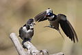 White-throated Swallow, Hirundo albigularis at Marievale Nature Reserve, Gauteng, South Africa. Sequence of two juveniles being fed on the fly by their parents. (15445361898).jpg