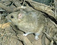 White-throated woodrat.jpg