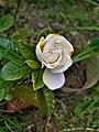 White Rose 153505.jpg