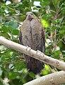 White Throated Ground Dove Female 039.jpg