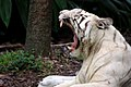 White Tiger Mouth Wide Open.jpg