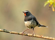 White tailed rubythroat.jpg