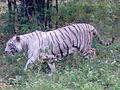 White tiger by prasad.jpg