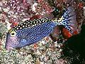 Whitespotted boxfish Ostracion meleagris photo Randall J E.jpg