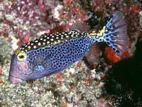Whitespotted boxfish Ostracion meleagris photo Randall J E
