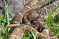 Wichita Mountains Rattlesnake.jpg
