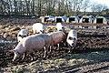 Wigsley pigs - geograph.org.uk - 1742773.jpg