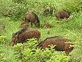 Wild Boar-3-mundanthurai-tirunelveli-India.jpg
