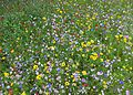 Wild flower meadow, Bradford University (28466232570).jpg