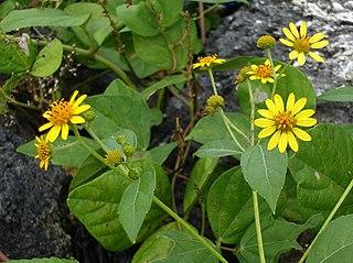 <i>Melanthera</i>