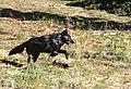 Wolves at Yellowstone National Park (a17c146d-fb4c-49d4-8c5c-b1a78b9ca27a).jpg
