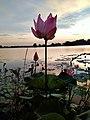 "Wonderful lily in ""Toman"" fishing lake, Selangor.jpg"