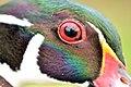 Wood Duck Close Up (21877134581).jpg