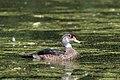 Wood duck eclipse drake, mill pond (35246877214).jpg