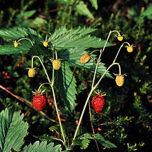 Woodland strawberries.jpg