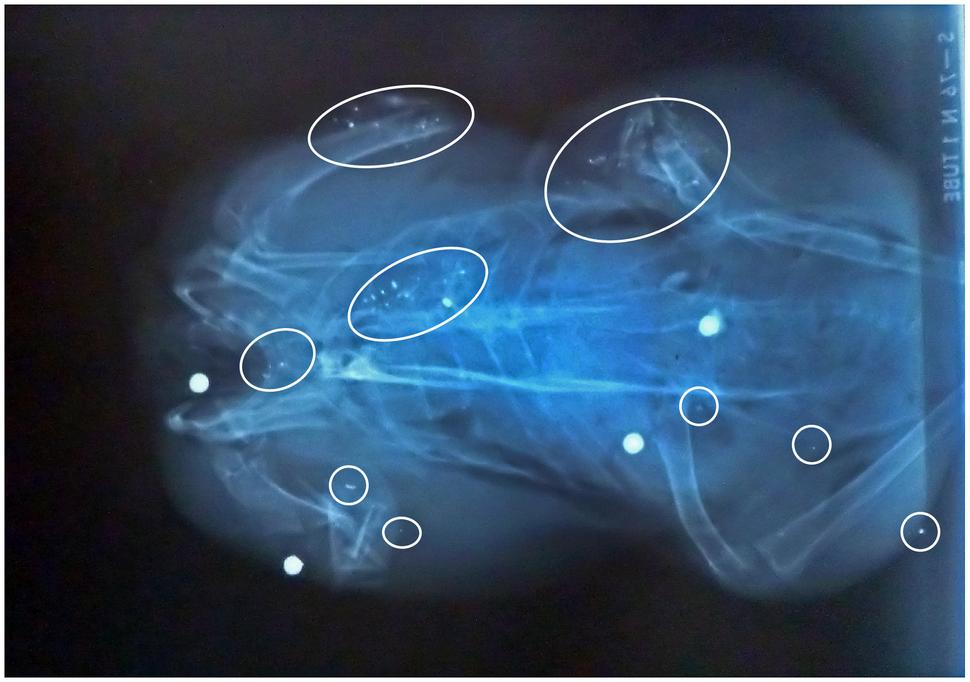 Woodpigeon (Columba palumbus) 4 gunshot numerous small radio-dense fragments Pain 2010 pigeon ramier