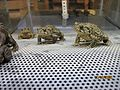 Wyoming Toad (5375683875).jpg
