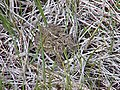 Wyoming toad in nature 2.jpg