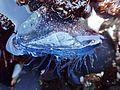 Yaquina Head tide pools, velella velella (27804787691).jpg