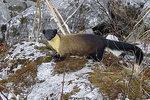 Yellow-throated marten - An individual from Pangolakha Wildlife Sanctuary, East Sikkim, India