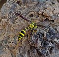 Yellow and Black Potter wasp. Delta (Phimenes) flavopictum ^ ) - Flickr - gailhampshire.jpg