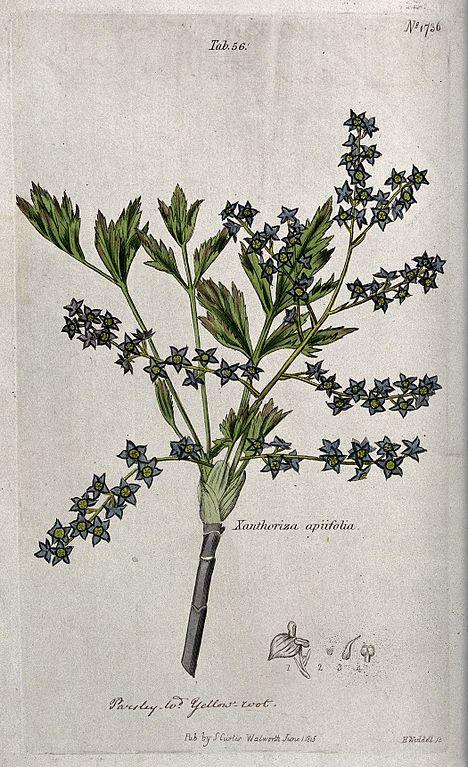 File yellow root plant xanthorhiza apiifolia flowering for Plante xanthorhiza