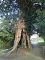 Yew tree, St David's Churchyard, Llanddewi Rhydderch - geograph.org.uk - 364771.jpg