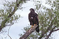 Young Bald Eagle (14727213495).jpg