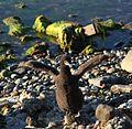 Young Cormorant in Puerto Natales (5501730694).jpg