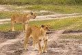 Young Male Lions, Maasai Mara (49844495013).jpg