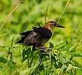 Young male Boat-tailed Grackle molting - Flickr - Andrea Westmoreland.jpg