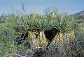 Yucca arizonica fh1183.2 AZ B.jpg