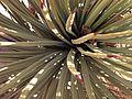 Yucca brevifolia (11004637164).jpg