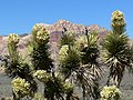 Yucca brevifolia inflorescences.jpg
