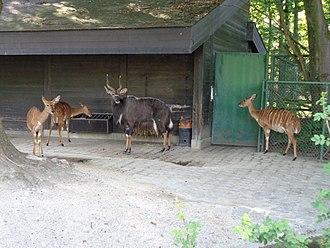 Nyala - Nyala family in captivity