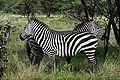 Zebres Equus.jpg